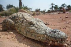 Coccodrilli, alligatori nel Marocco Azienda agricola del coccodrillo a Agadir Immagine Stock Libera da Diritti