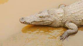 Coccodrilli che riposano all'azienda agricola del coccodrillo nel Vietnam Fotografia Stock