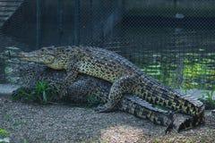Coccodrilli che si accoppiano allo zoo di Belgrado Fotografia Stock
