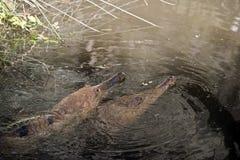 2 coccodrilli dell'acqua dolce Fotografia Stock Libera da Diritti