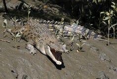 Coccodrilli dell'acqua salata Fotografia Stock Libera da Diritti