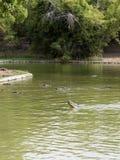 Coccodrilli di caimano Fotografia Stock