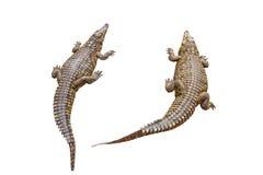Coccodrilli di Nilo Immagine Stock Libera da Diritti