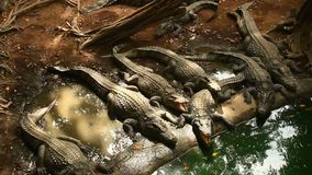 Coccodrilli in lago stock footage