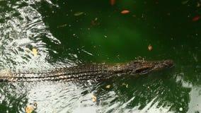 Coccodrilli in lago video d archivio