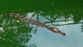 Coccodrilli in lago archivi video