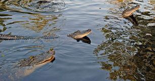 Coccodrilli nei rami paludosi di fiume Fotografia Stock Libera da Diritti