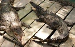 Coccodrilli nel giardino zoologico Immagine Stock Libera da Diritti