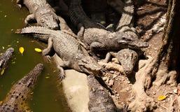 Coccodrilli nel giardino zoologico Immagine Stock
