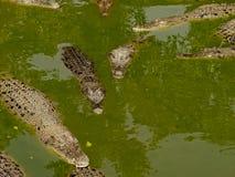 Coccodrilli su un fiume Fotografia Stock
