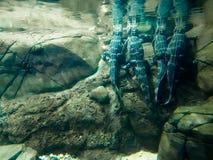 Coccodrilli subacquei in acquario Immagine Stock
