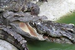 Coccodrillo Immagini Stock Libere da Diritti