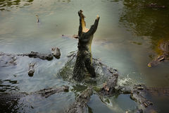 coccodrillo fotografia stock libera da diritti
