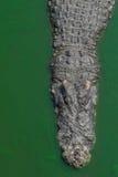 coccodrillo Immagini Stock