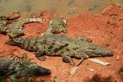 Coccodrillo africano fotografia stock