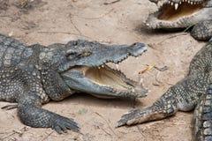 Coccodrillo aggressivo fotografia stock