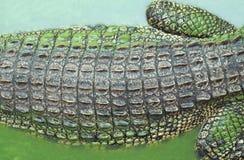 coccodrillo Alligatore Fotografie Stock Libere da Diritti