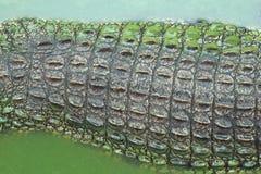 coccodrillo Alligatore Fotografia Stock Libera da Diritti