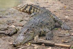 Coccodrillo alto vicino vicino al fiume in Tailandia fotografia stock