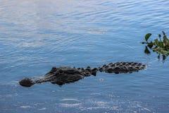 Coccodrillo americano Fotografia Stock