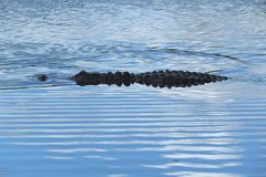 Coccodrillo americano (coccodrillo Mississippiensis) Immagini Stock Libere da Diritti