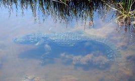 Coccodrillo americano (coccodrillo Mississippiensis) Fotografia Stock