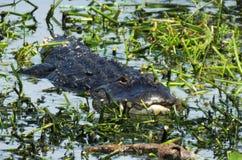 Coccodrillo americano (coccodrillo Mississippiensis) Fotografie Stock Libere da Diritti
