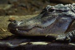 Coccodrillo americano - coccodrillo Mississippiensis Fotografia Stock