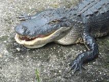 Coccodrillo americano (coccodrillo Mississippiensis) Immagini Stock