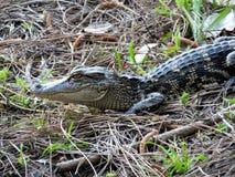 Coccodrillo americano (coccodrillo Mississippiensis) Fotografie Stock
