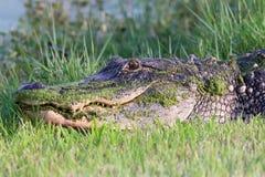Coccodrillo americano in Florida immagini stock