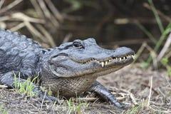 Coccodrillo americano (mississippiensis del coccodrillo) Fotografia Stock