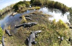 Coccodrillo americano (mississippiensis del coccodrillo) fotografia stock libera da diritti