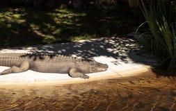 Coccodrillo americano, mississippiensis del coccodrillo Fotografie Stock Libere da Diritti