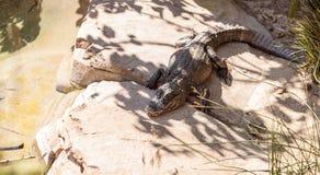 Coccodrillo americano, mississippiensis del coccodrillo Fotografia Stock Libera da Diritti