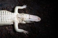 Coccodrillo bianco raro Fotografia Stock Libera da Diritti