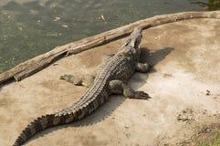 Coccodrillo che cerca concetto aggressivo dell'alligatore della testa del morso Fotografie Stock