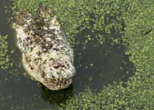 Coccodrillo che cerca concetto aggressivo dell'alligatore della testa del morso Fotografia Stock Libera da Diritti