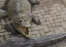 Coccodrillo che cerca concetto aggressivo dell'alligatore della testa del morso Fotografia Stock
