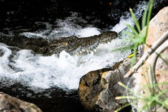 Coccodrillo che ha osservato dall'acqua Immagine Stock