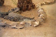 Coccodrillo che si trova sulla sabbia fotografia stock