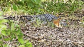 Coccodrillo con la sua bocca spalancata nella vegetazione del billabong giallo dell'acqua, parco di Kakadu, Australia fotografie stock libere da diritti