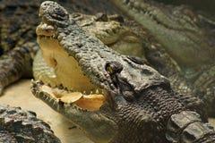 Coccodrillo con un foglio nella sua bocca Fotografia Stock