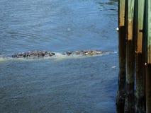 Coccodrillo (crocodylus acutus) Fotografie Stock
