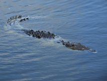 Coccodrillo (crocodylus acutus) Immagini Stock
