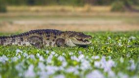 Coccodrillo del coccodrillo palustre nella riserva naturale del Panama, Sri Lanka Fotografia Stock Libera da Diritti