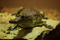 Coccodrillo del Morelet (moreletii del Crocodylus) Fotografia Stock