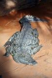 Coccodrillo del Nilo Immagine Stock