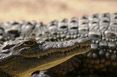 Coccodrillo del Nilo Immagini Stock Libere da Diritti