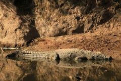 Coccodrillo del Nilo Fotografia Stock